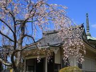 ご近所の桜 - イーハトーブ・ガーデン