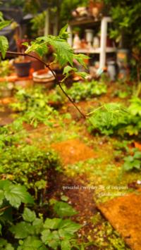 ギボウシの芽だしと雨の庭! - ゆのこせいかつ 2巻