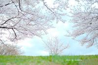 丘の上の桜 - Photographie de la couleur
