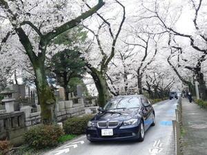 青山墓地の桜4/9 - つくしんぼ日記~徒然編~