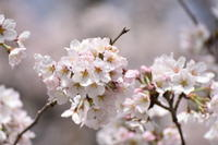 笠原川の桜2017 - つぶやき『Cauliflower』