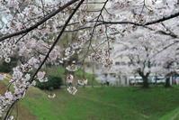 三の丸の桜 - フェイズと写真と時々・・・!