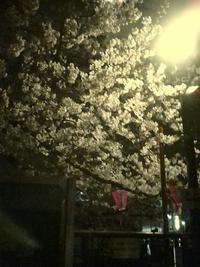 目黒川の夜桜です - 新丸子の不動産屋、 マンション管理士です