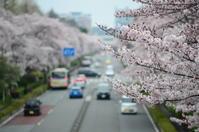 Kunitachi Cherry blossom 2017 - 風に吹かれて