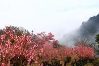 花桃の郷(東秩父村) - 何でも写真館
