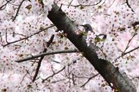 深谷の桜 - 何でも写真館