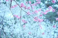 京都 桃の花。 - *ぷるはあと*