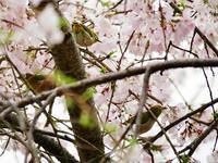 桜と野鳥 - syuka's 駄photo base