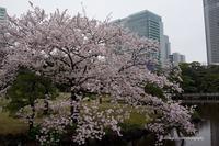 桜咲く2017浜離宮---自由散歩@撮影 - くにちゃん3@撮影散歩