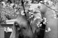 花見のゾウ - 和む由もがな