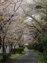 サクラ散歩 - Wakaba photos