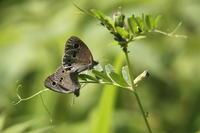 ヒメウラナミジャノメの交尾 - Butterfly & Dragonfly