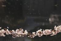 桜合わせ:07 - hinocoro | ヒノコロ