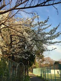 2017年4月2w 満開の櫻の下で「雑草除去」 - 駒 場 バ ラ 会 咲く 咲く 日 誌
