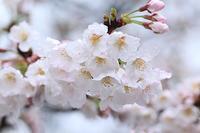 雨に咲く・・・桜♪ - happy-cafe*vol.2