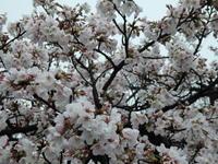 桜と鳥 - ダックと隊長