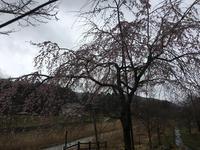 垂れ桜はまだでちた! - パールとマーヤのほのぼの日記!