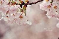 桜2017-雨- - ゆっくり、ぱちぱちり
