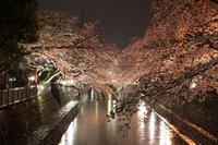 夜桜 - 西美濃逍遥1