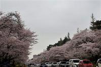 曇り空と満開の桜☆国立 - さんじゃらっと☆blog2