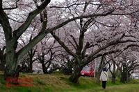 墨俣一夜城の桜 - favorite pursuit