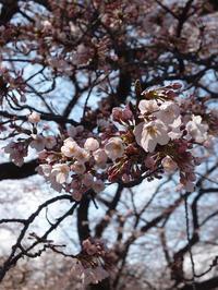 3年ぶり、小石川植物園の桜 (2017/4/2) - わが愛しのXXX。
