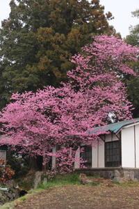 桜だより(6) 我が家に咲く桜 (撮影日:2017/4/9) - toshiさんの気まぐれフォトブログ