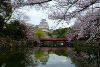 姫路城 桜 - とりあえず撮ってみました