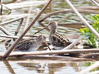 春を迎えたタシギ - コーヒー党の野鳥と自然 パート2