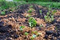 ラディッシュの芽が出たよ - 良え畝のブログ
