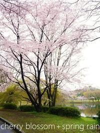 春雨と桜 - serendipity blog