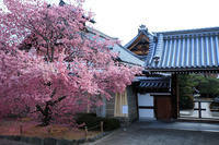 桜2017! ~長徳寺~ - Prado Photography!