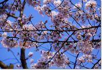 ◆桜の咲く季節ですね・・・(*´ー`*) - ☆彡ちいさな幸せ☆彡別館