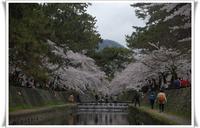 桜の追っかけで 忙しい!! - 舞ときらりと琴