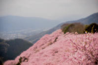 ★八百萬神之御殿(やおよろずよのかみのごてん)の桜 見てきました。^^ - 一写入魂
