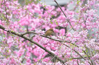 枝垂れ桜に - 季節の映ろひ