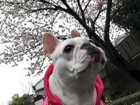 桜 - フレブル梅千代のゆかいな生活