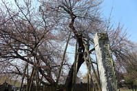 石戸蒲桜と北本自然観察公園 - Buono Buono!