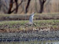 ホウロクシギ(焙烙鷸) ③ - azure 自然散策 ~自然・季節・野鳥~