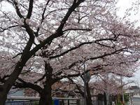 桜 - こまち日和