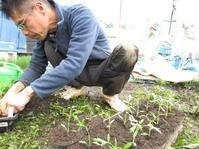 夏野菜 苗の仮植 トマト - 南阿蘇 手づくり農園 菜の風