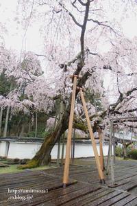 京の春*醍醐寺 - 一瞬をみつめて