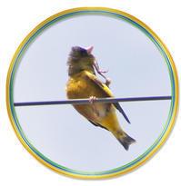 黄色いお腹のカワラヒワ - DOUBLE RAINBOW