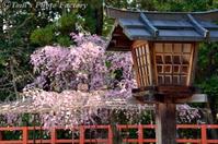 京を歩く~桜色の京都「上賀茂神社」 (風流桜とみあれ桜) - Tomの一人旅~気のむくまま、足のむくまま~