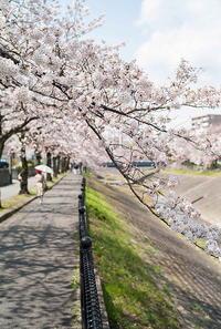 桜と日傘 - alors  photos ライカと50mmで