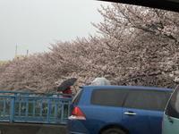 満開の桜と雨 - わたしの好きな物