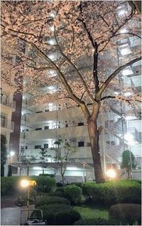 近所で夜桜 - mamiノート