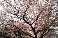 桜満開(福山城公園) - 風見鶏日記