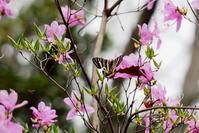 スプリングエフェメラル その2 - 紀州里山の蝶たち