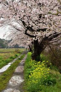 今井の桜 4月9日続報(満開) - pottering
